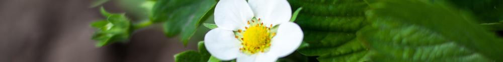 June Gardening Tips - Strawberry flowers