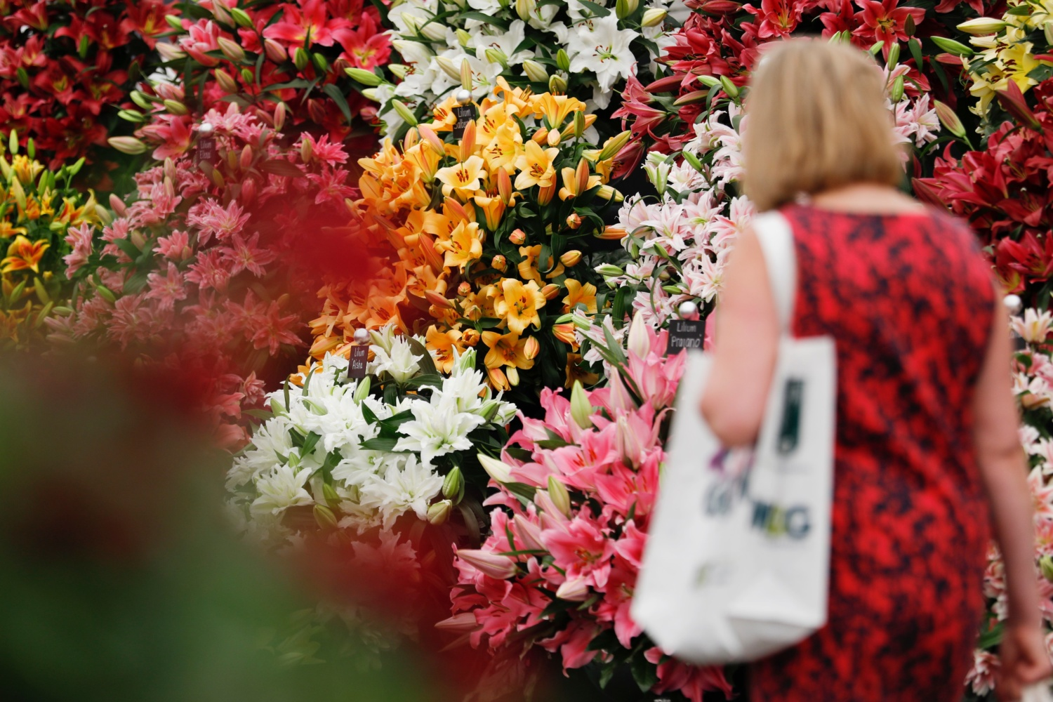 Visitor at RHS Chelsea wanders among flowers