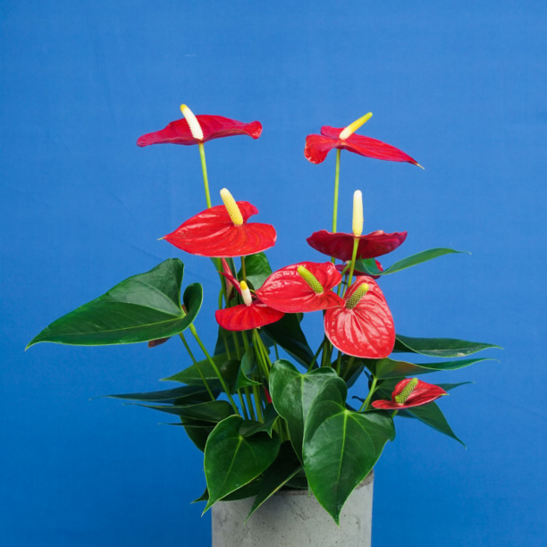 Fiery red flowered houseplant in grey pot with blue background