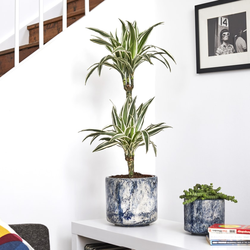 Corn Plant Dracaena fragrans 'Janet Craig'. Your Guide to Indoor Gardens by Malvern Garden Buildings