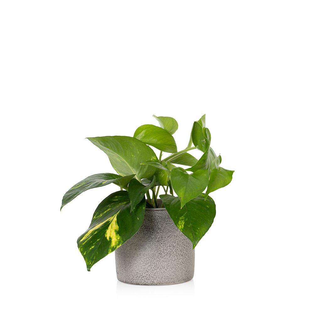 Devil's Ivy plant. Your Guide to Indoor Gardens by Malvern Garden Buildings