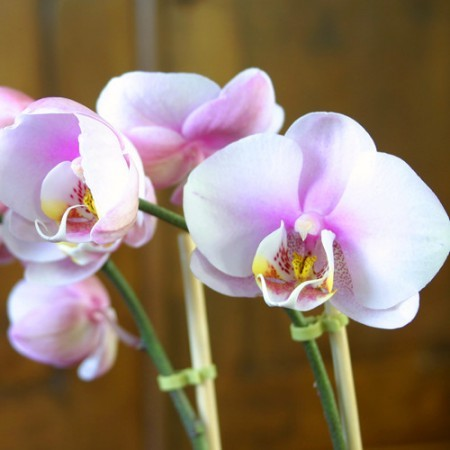 Pink Moth Orchid. Your Guide to Indoor Gardens by Malvern Garden Buildings