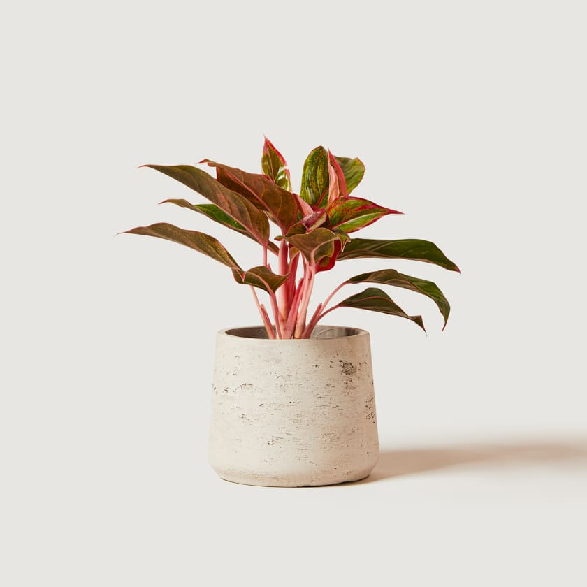 Red Chinese Evergreen plant. Your Guide to Indoor Gardens by Malvern Garden Buildings