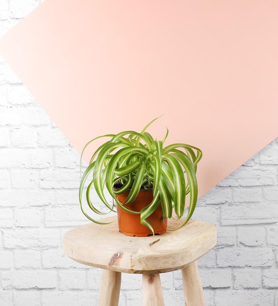 Spider Plant. Your Guide to Indoor Gardens by Malvern Garden Buildings