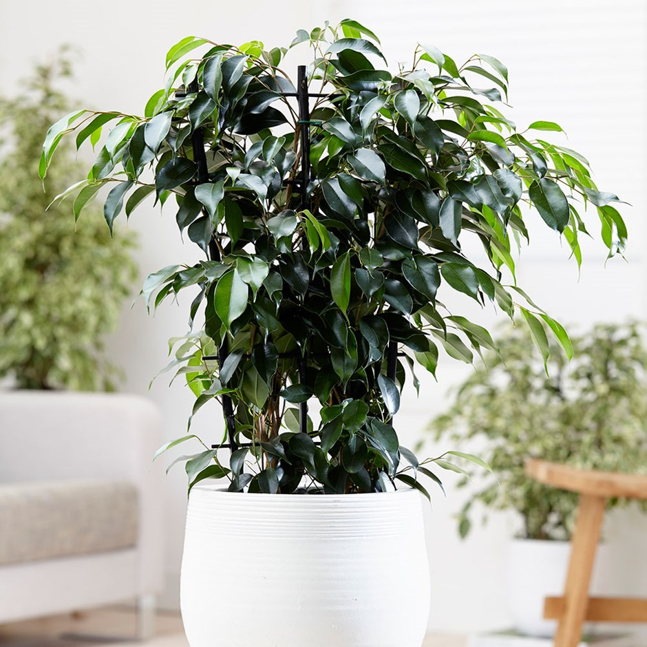 Weeping Fig. Your Guide to Indoor Gardens by Malvern Garden Buildings