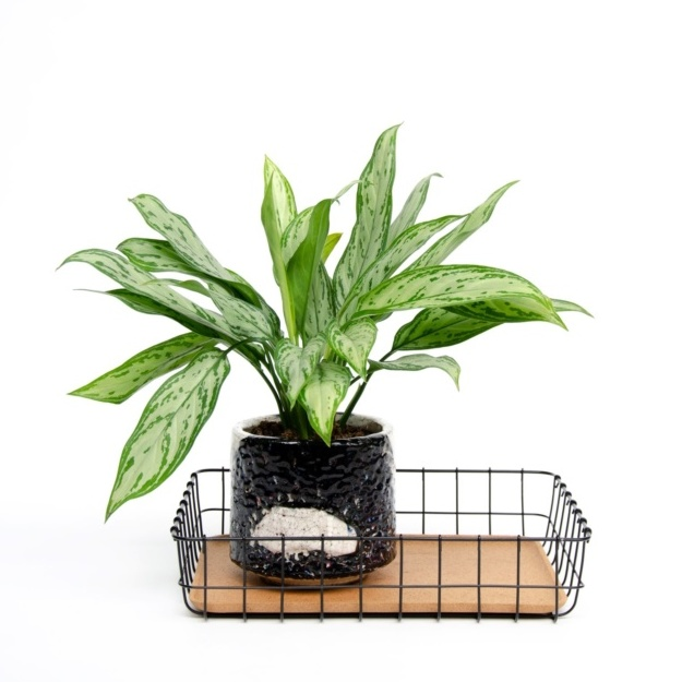 Green leafy houseplant in black pot sat in office in-tray