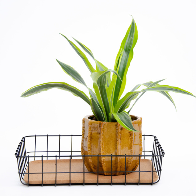 Green striped foliage shooting out of wooden pot in office in-tray