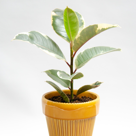 Houseplant with cream edged leaves in bright yellow pot