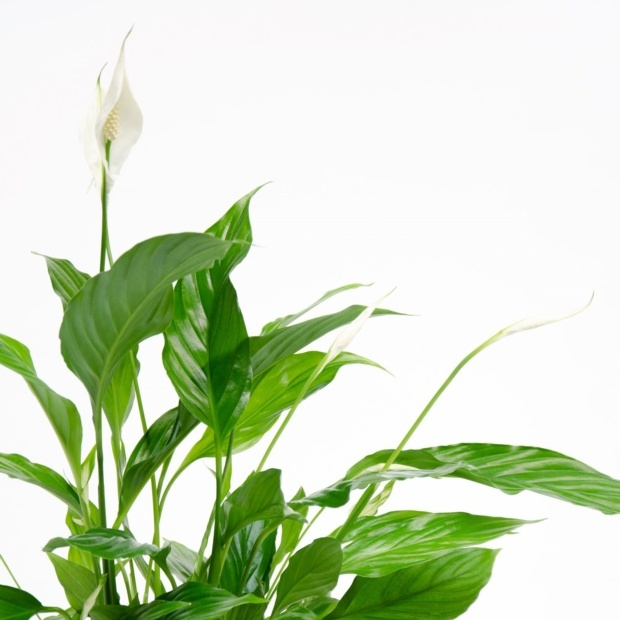 Delicate white flowering houseplant