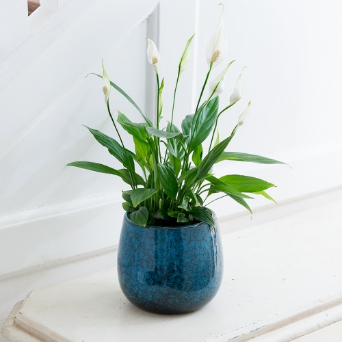 Peace lily plant in blue ceramic pot. Your Guide to Indoor Gardens by Malvern Garden Buildings