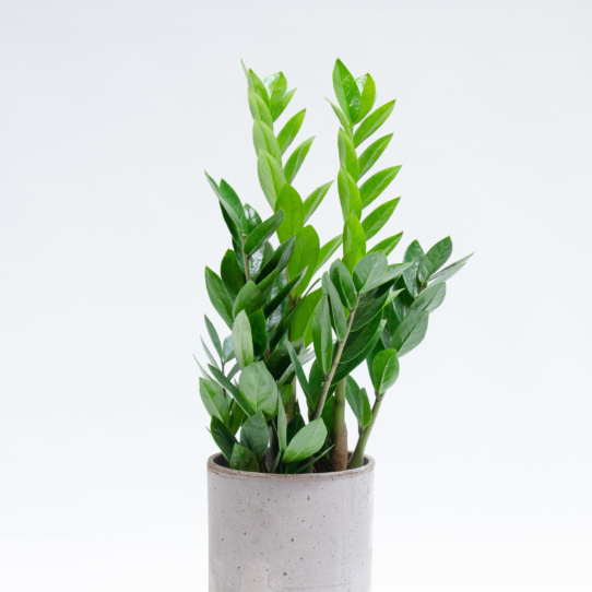 Feathery leafed houseplant in grey pot