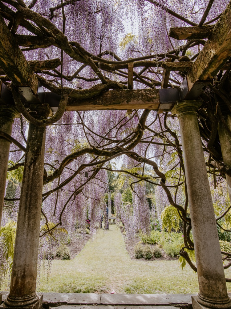 A photograph taken from underneath a Wisteria walkway, showing the gnarled vines that support the cascading flowers.