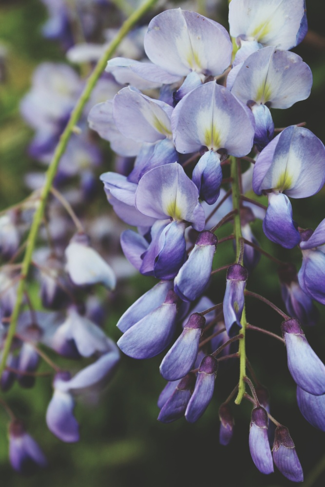 Close up of a Wisteria vine and the delicate hanging flowers, in pastel hues of purple