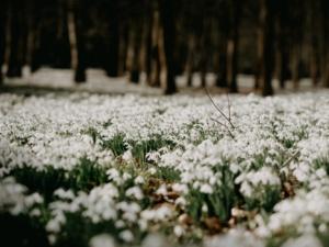 Winter Walks: Snowdrop Walks Near You