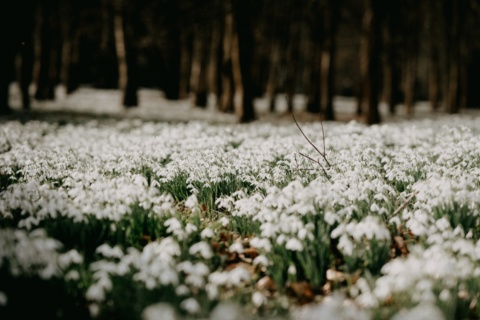 Winter Walks: Snowdrop Walks Near You by Garden Escape