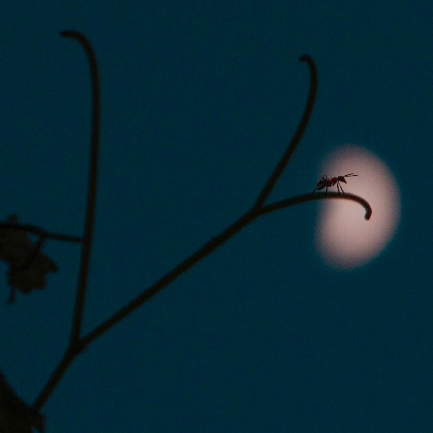 Ant on a twig in moonlight